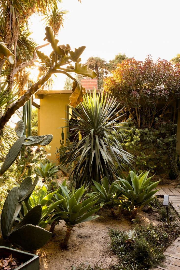 Standing next to the house and emphasizing the midcentury lines of the facade is a tall, columnar San Pedro cactus (Echinopsis pachanoi). Foxtail agaves (Agave attenuata) have curved leaves and capture light with their silvery foliage, a useful trick in a space ruled by dappled shade.