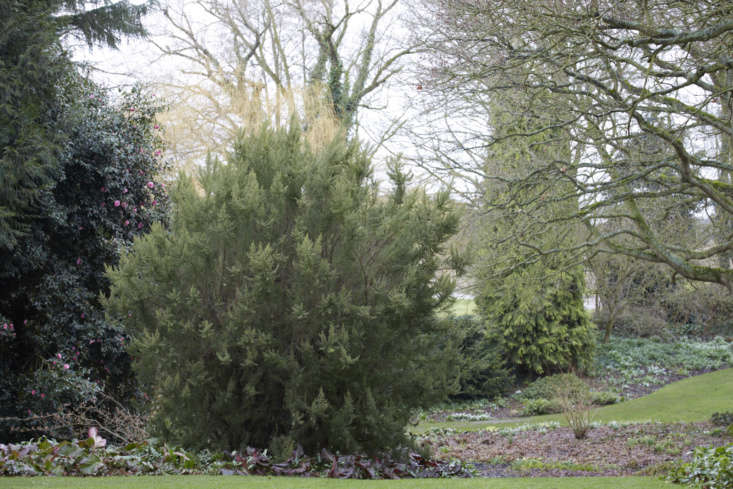 Like the trusty backyard combination of heathers and dwarf conifers, tree heathers mingle with full-size conifers and evergreen camellia in Beth Chatto&#8\2\17;s garden in Essex.