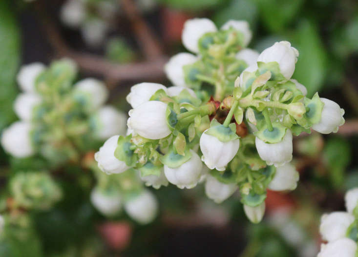 Blueberry blossoms in spring by Marie Viljoen