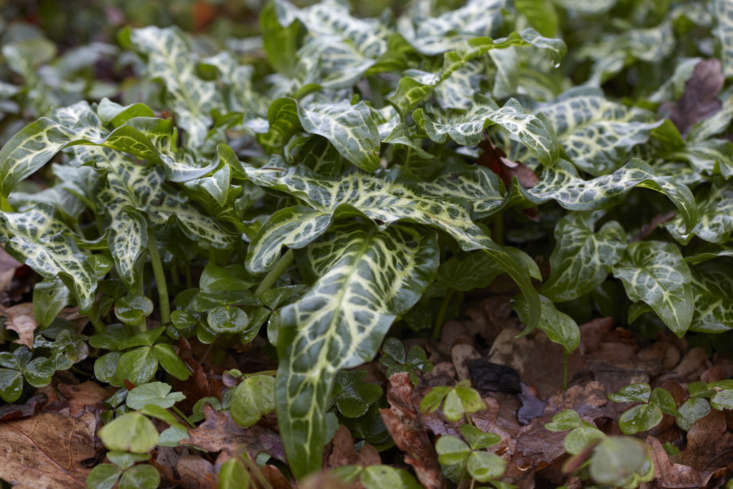 Arum italicum provides competition for spreading oxalis (wood sorrel).