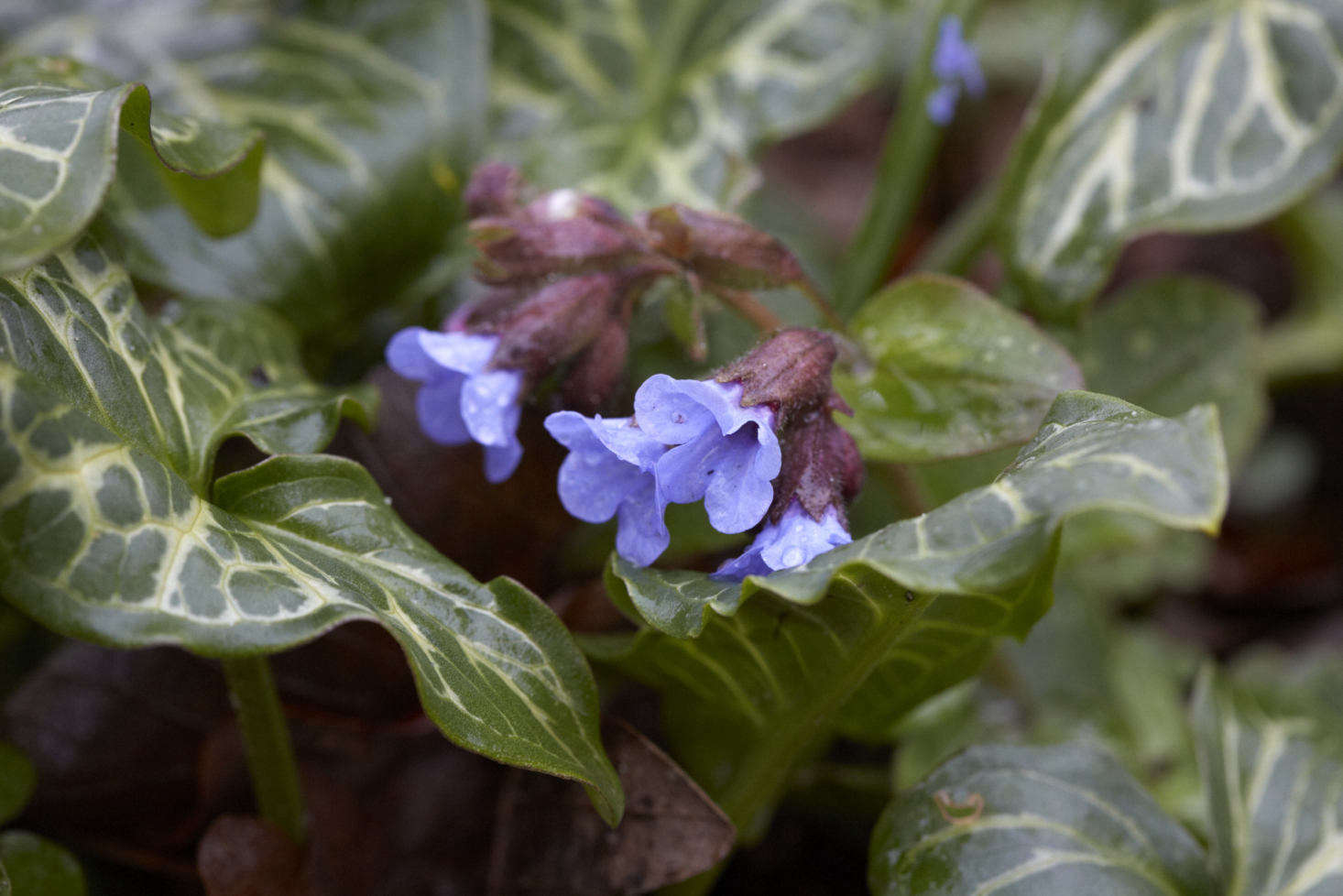 Clear blue Pulmonaria emerges from a bed of Arum italicum in spring.