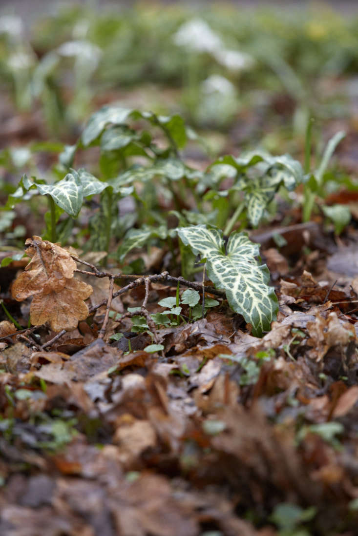 Think of Arum italicum as companion planting to dead leaves, particularly oak.