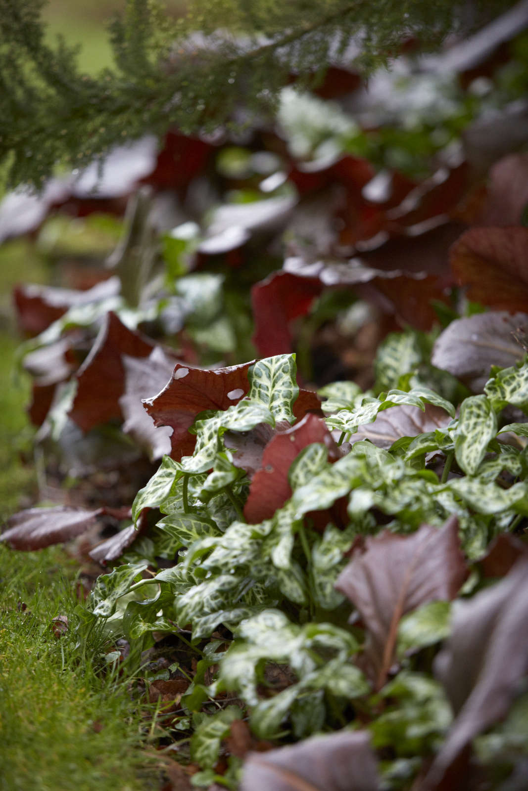 A shiny carpet of color and leaf shape, Italian arum with Bergenia, held in by grass.