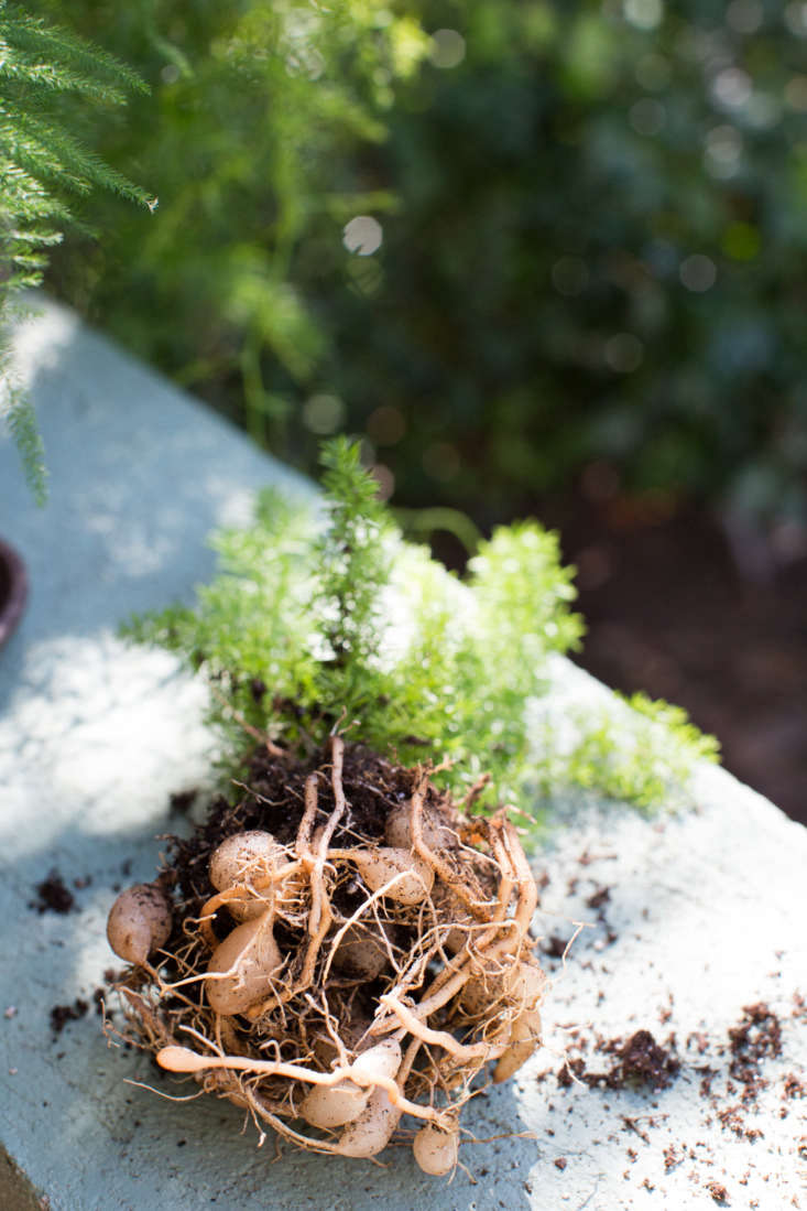 Asparagus ferns&#8\2\17; roots emerge from a clump of bulbs.