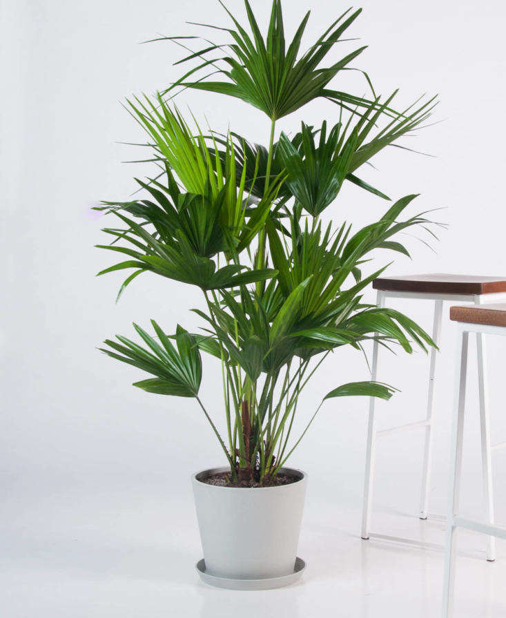 The Chinese Fan Palm falls under Bloomscape's categories of extra-large plant, safe for cats and dogs, and relatively low maintenance; $5.