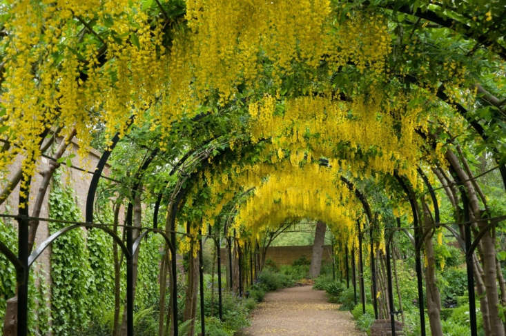 Laburnums bloom in May and June on the pergola in the Queen&#8\2\17;s Garden. For visiting hours and information, see Kew.