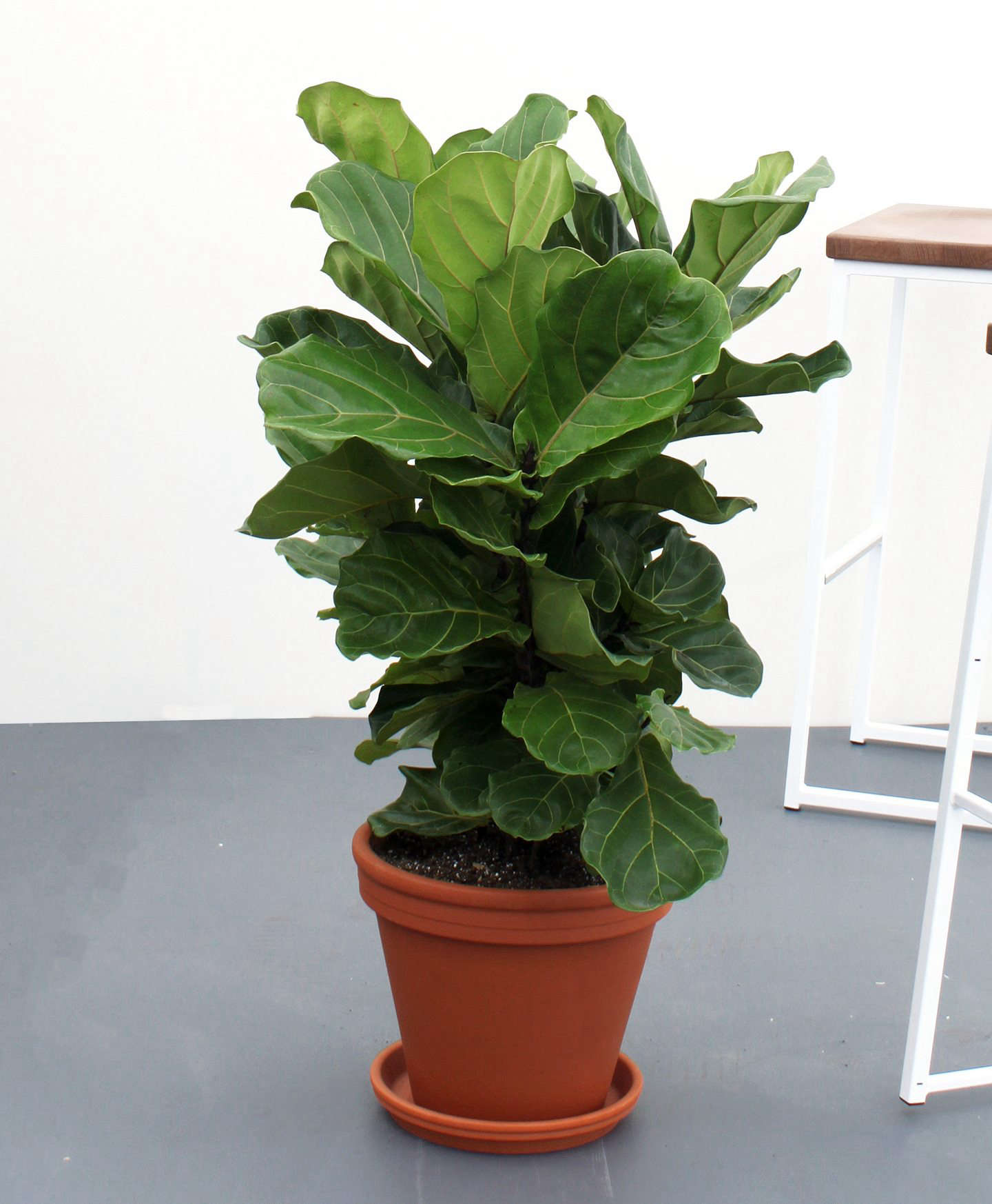 By popular demand, they also carry the finicky Fiddle-Leaf Fig; $5. If you&#8