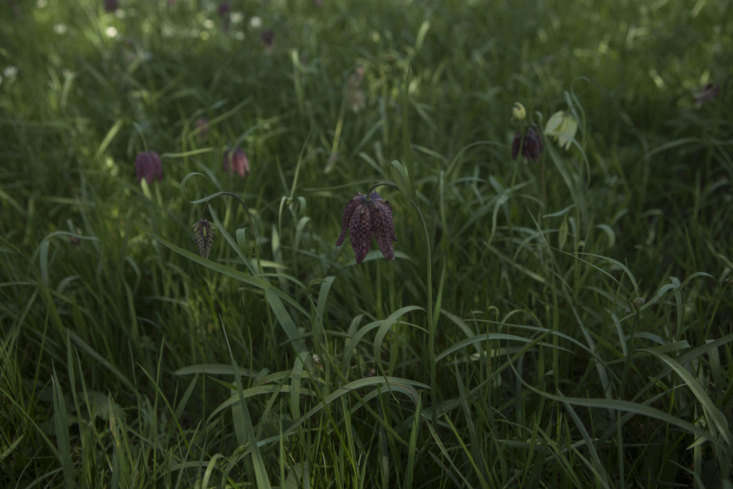 Fritillaries that have escaped the boundary of the meadow onto the bank opposite.
