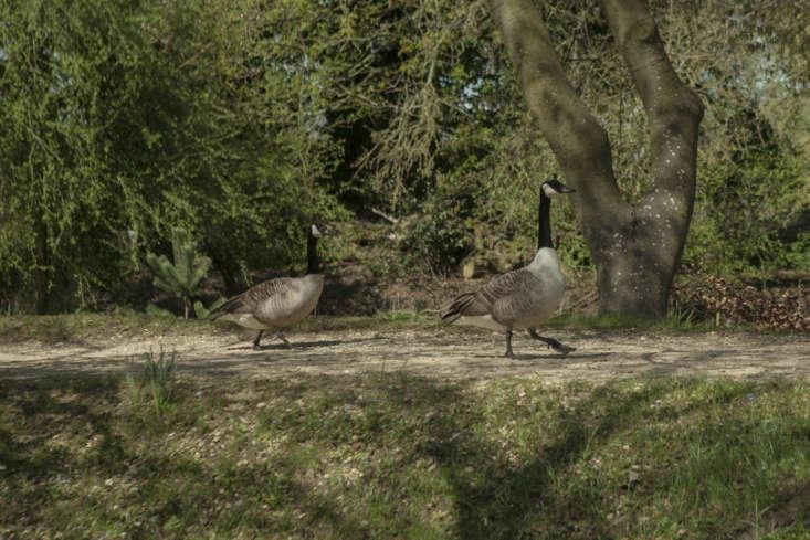 Canada geese walk anticlockwise around Addison&#8\2\17;s Walk at Magdalen College.