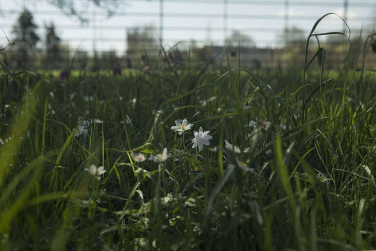 On the other side of the water meadow fence, wood anemone and other wildflowers.