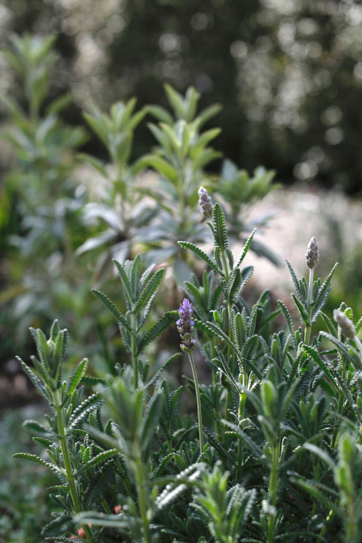 A cultivar of gray French lavender, silvery L. dentata candicanshas larger leaves with a silvery cast.