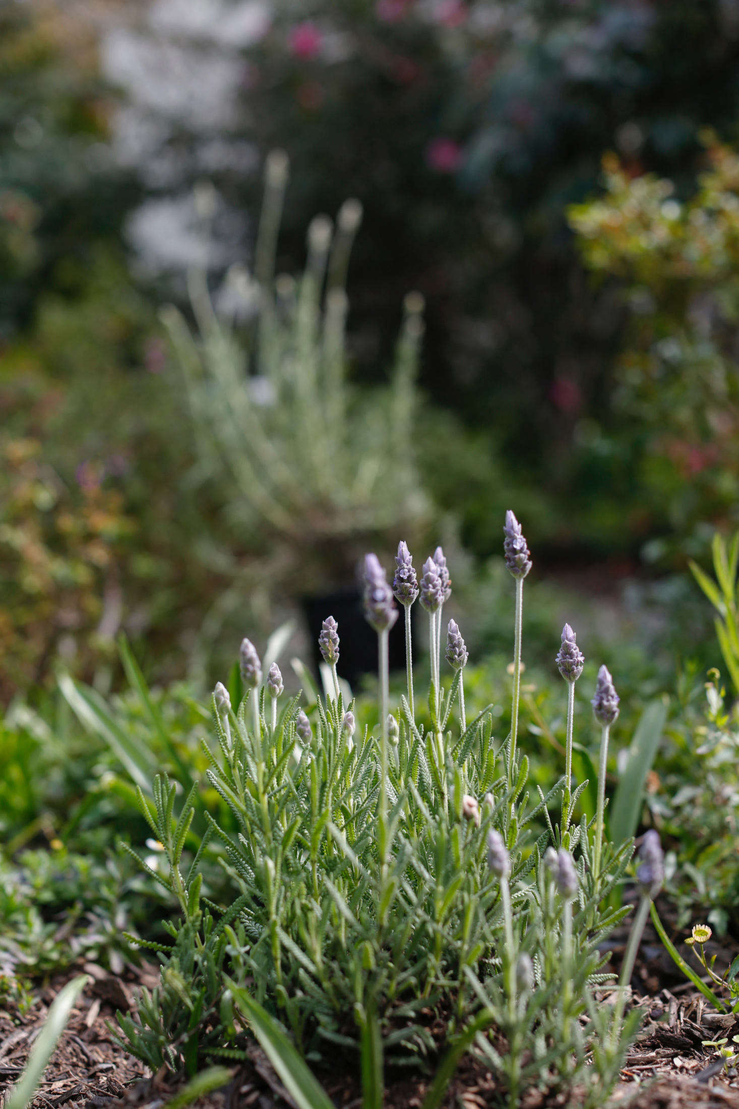 Everything You Need To Know About Lavender Plus 5 Kinds To Grow Gardenista