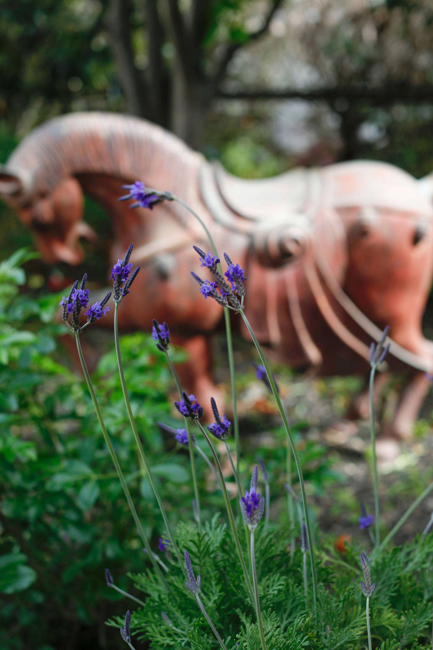 Jagged lavender (L. pinnata buchii) has feathery leaves and deeply purple flowers.