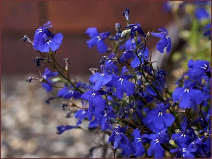 Lobelia erinus. Photograph by Tatters via Flickr.
