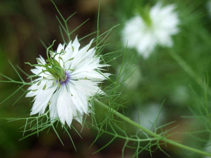 Nigella damascena. Photograph by Maggie McCain via Flickr.