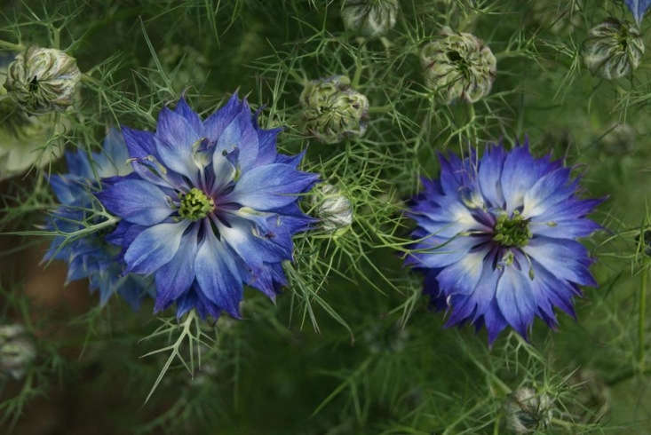 A packet of seeds of N. damascena &#8\2\16;Persian Jewels Indigo&#8\2\17; is £\1.95 from Chiltern Seeds.