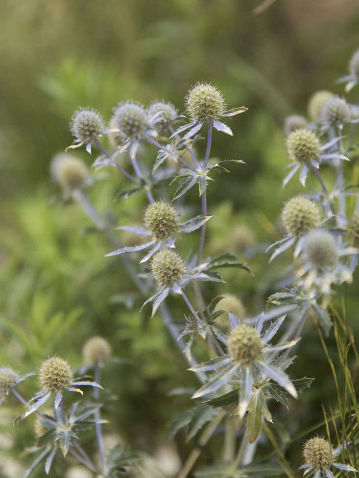 """Dwarf eryngium, or sea holly, is one of the many plantings in lightweight white concrete planters. The Heritage-listed building came with planting restrictions for """"what could be directly planted into the ground,"""" so Lockhart designed primarily in pots."""