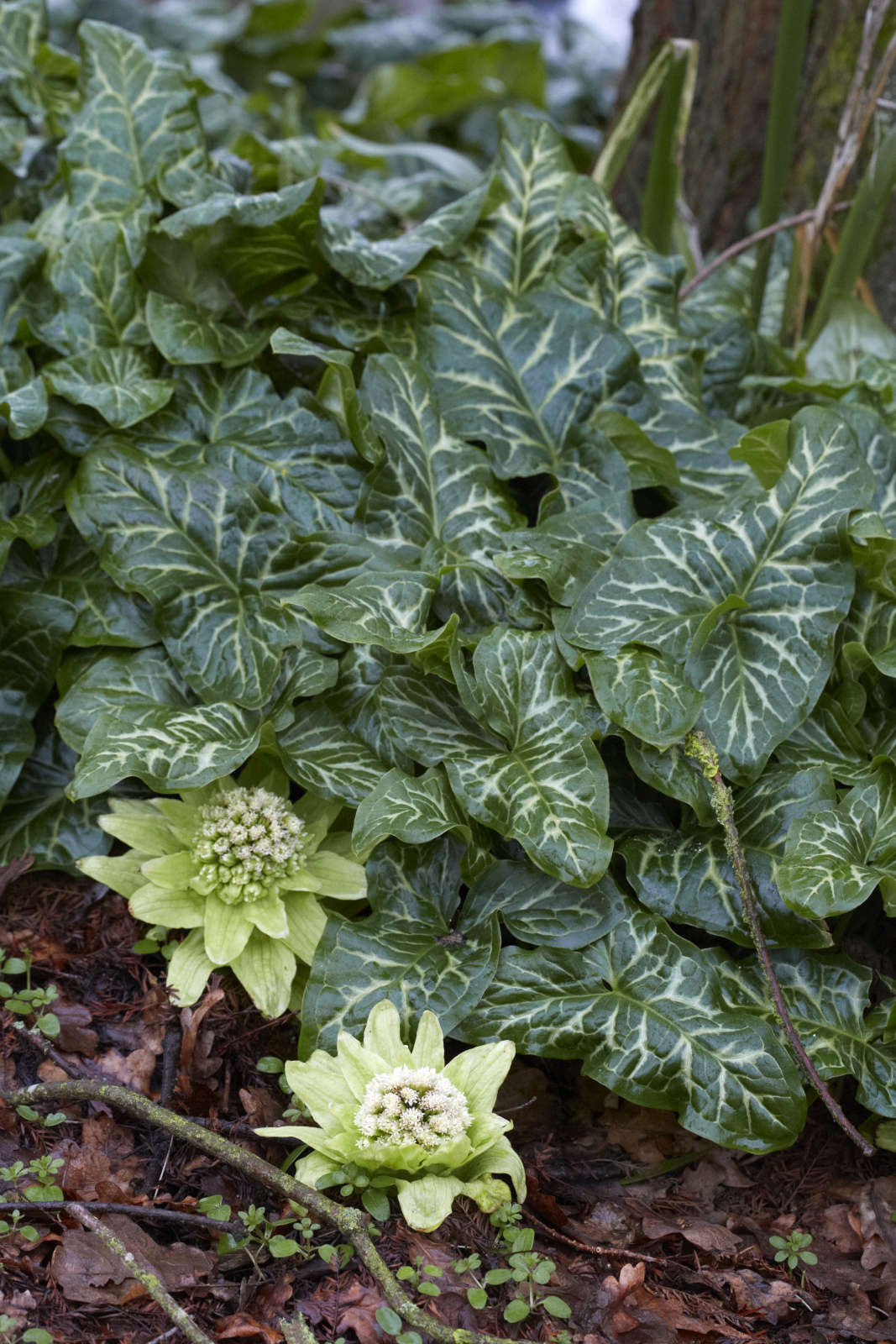 Petasites japonicusmingles with ground-covering arum at the Beth Chatto gardens.