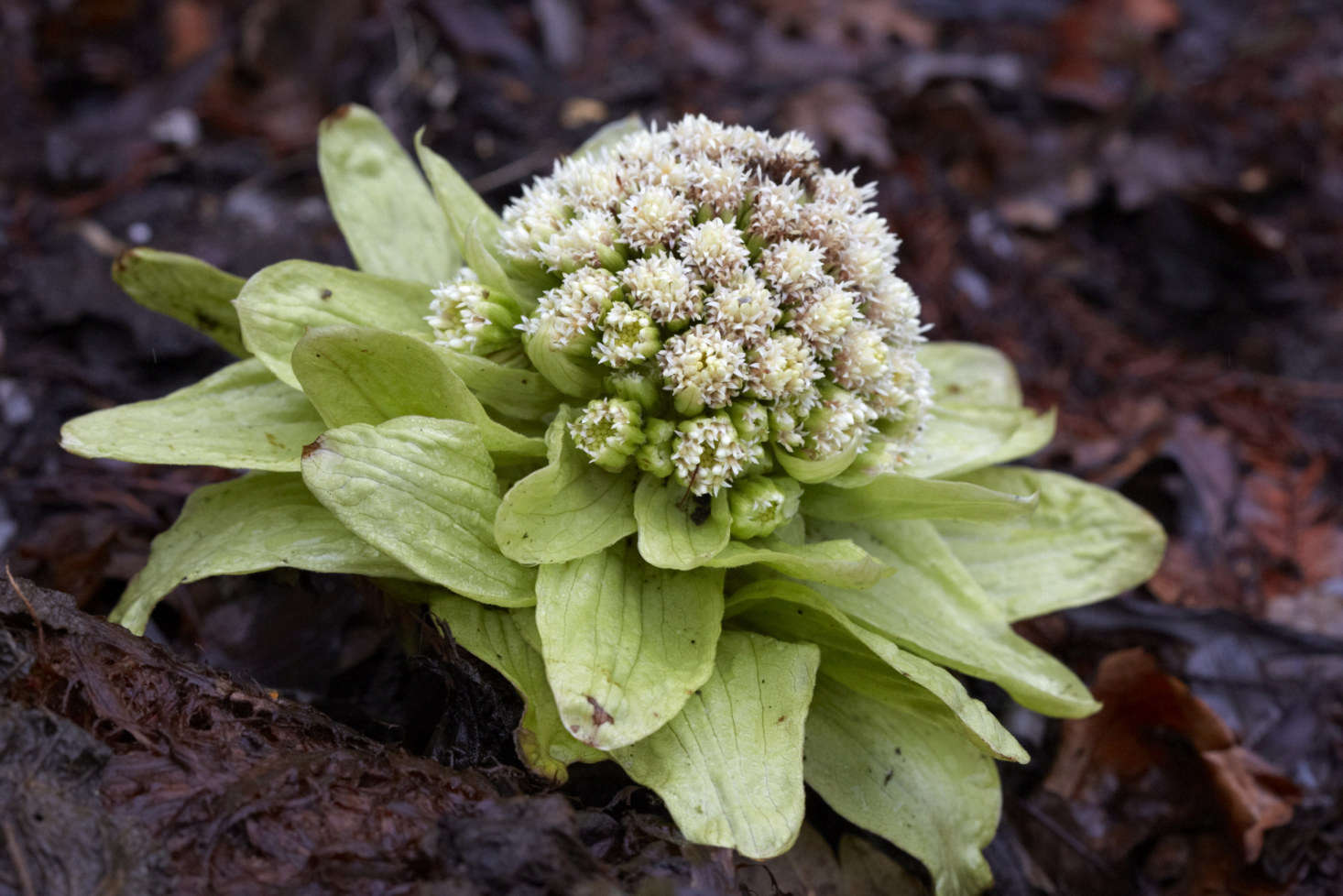 Slightly sinister cabbages of Petasites japonicus appear in early spring.