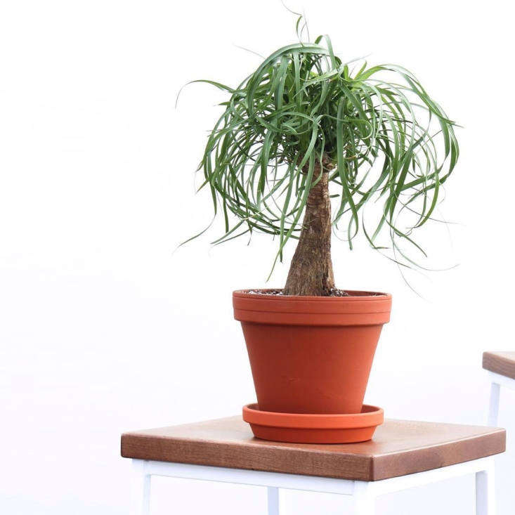 The extremely resilient—and Dr. Seuss–like—Ponytail Palm; $65.