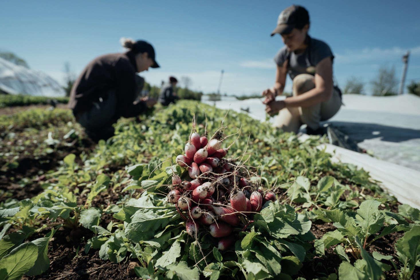 Interns harvest radishes.
