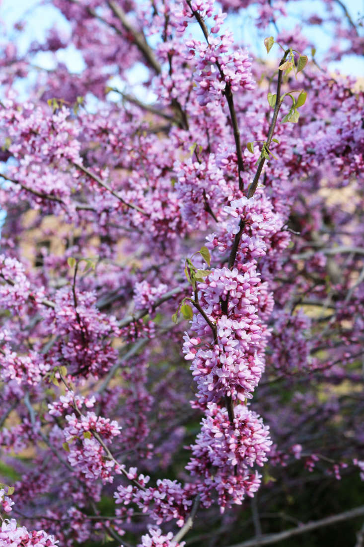 Redbud is a modest-size tree, making it a good choice for small and urban gardens where space is at a premium.