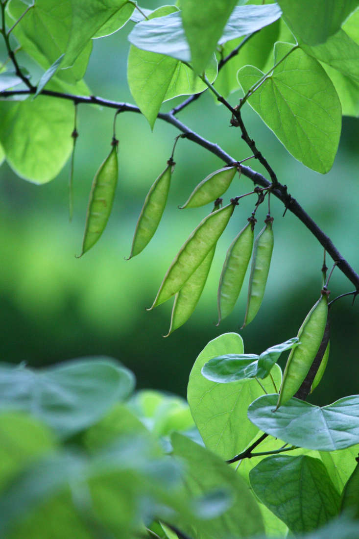 In late spring the trees leaf out and flowers are transformed into seedpods resembling snap peas.