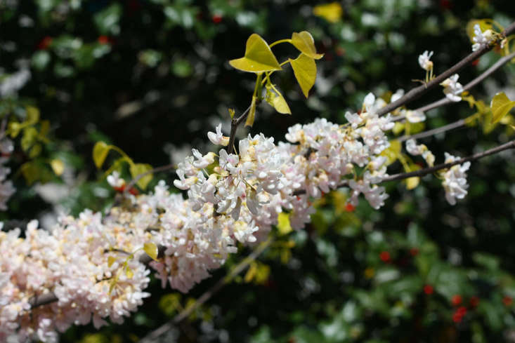 And if redbud pink is not your thing, choose cultivars such as &#8\2\16;Royal White&#8\2\17;, &#8\2\16;Texas White&#8\2\17;, and &#8\2\16;Alba&#8\2\17; for their cool and calm white blooms.