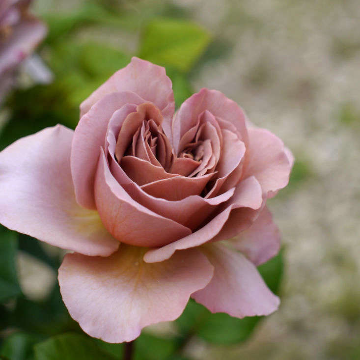 Introduced in 05 by rose breeder DeRuiter, &#8
