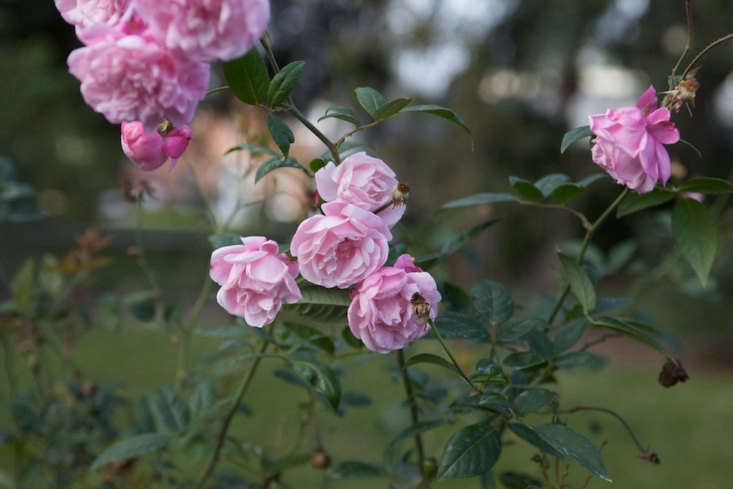 &#8\2\16;Morgan Spring&#8\2\17; is a noisette rose. Photograph by Malcolm Manners via Flickr.