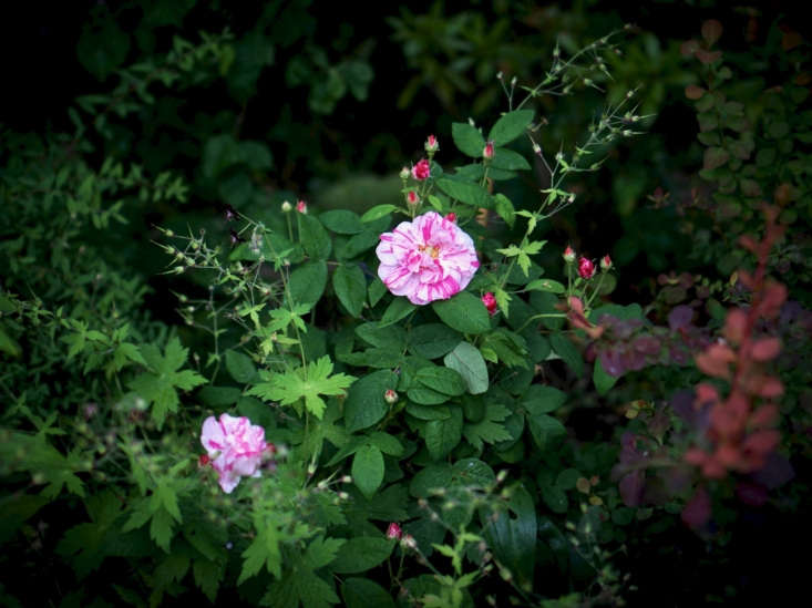Rosa mundi by Judy Dean via Flickr. See more of this rose in Garden Visit: At Home with Writer Daisy Garnett in London. Photograph by Clare Coulson.