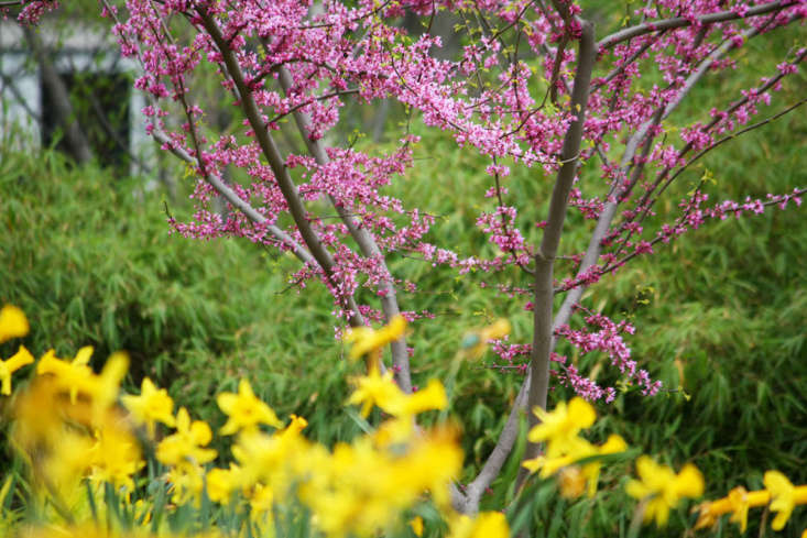 The unique flowering habit of redbud makes it an effective showstopper, whether planted where it will contrast unapologetically with swaths of daffodils, or in a more restrained and indigenous garden.