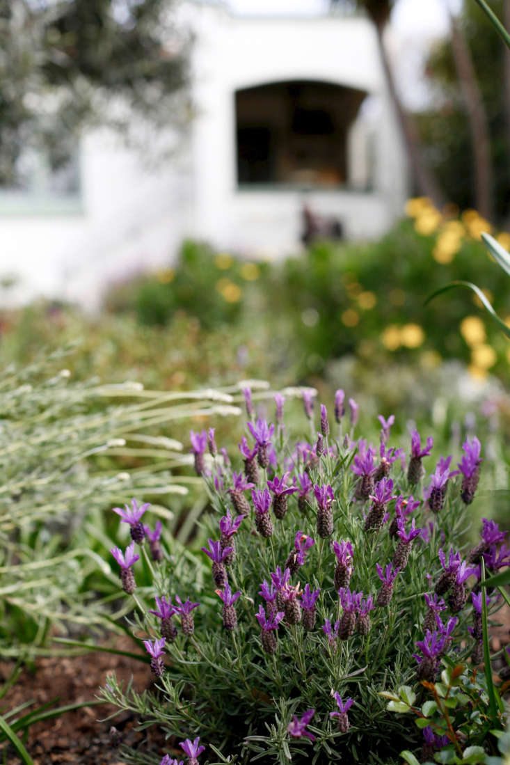 Spanish lavender isLavandula stoecha. Native to the Mediterranean climates of southern Europe, it also thrives in my garden.