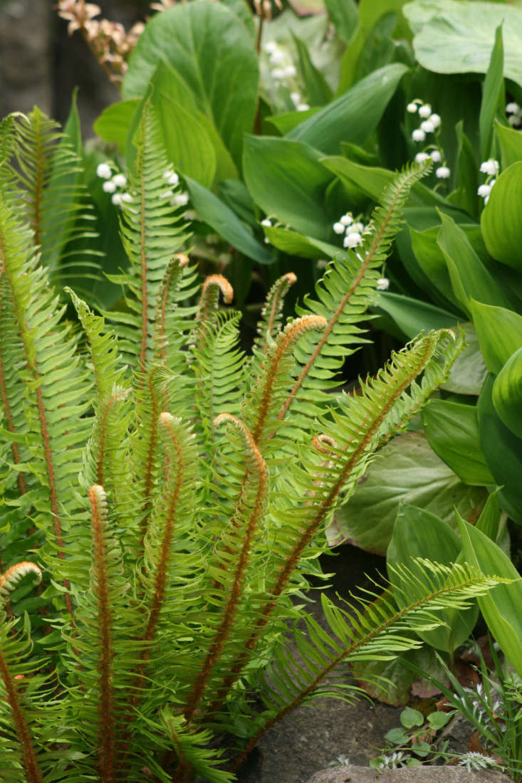 A Western Sword Fern in a 3.5-inch container is $6.99 from Succulents