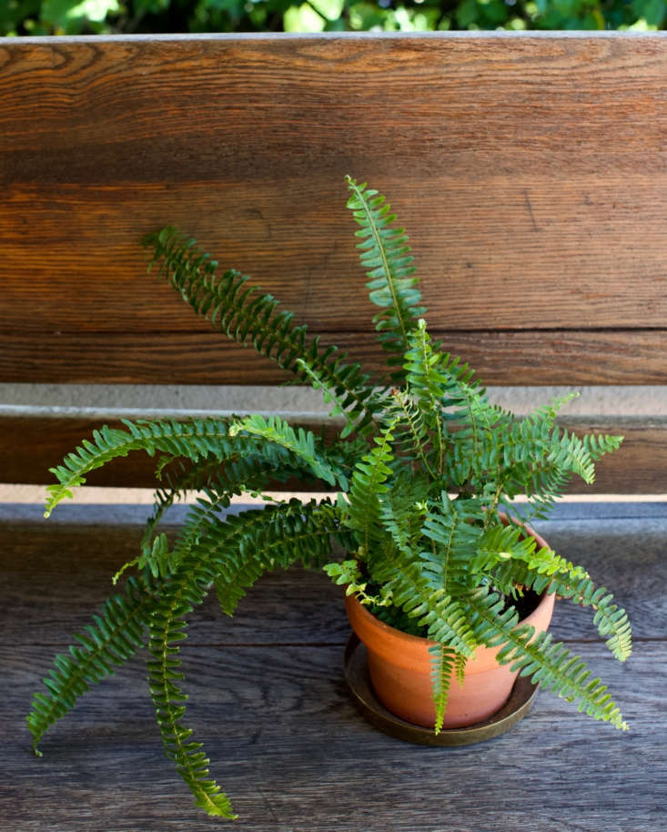 As a houseplant, western sword fern will appreciate indirect light, evenly moist soil, and humidity (mist the fronds for added moisture). Photograph by Mimi Giboin.