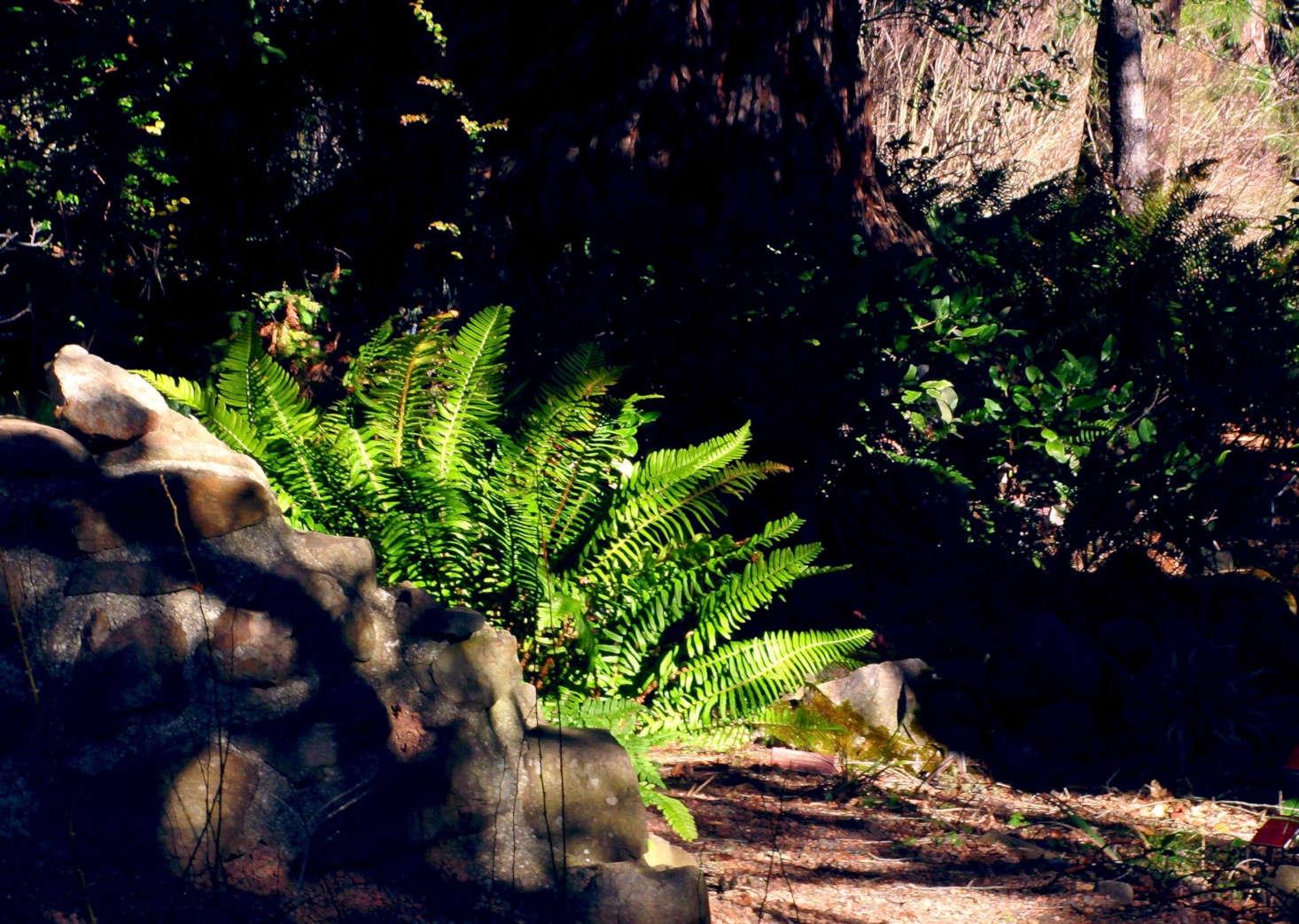 Western sword fern grows beside a trail in Tilden Park near Berkeley, California. Photograph by John Rusk via Flickr.