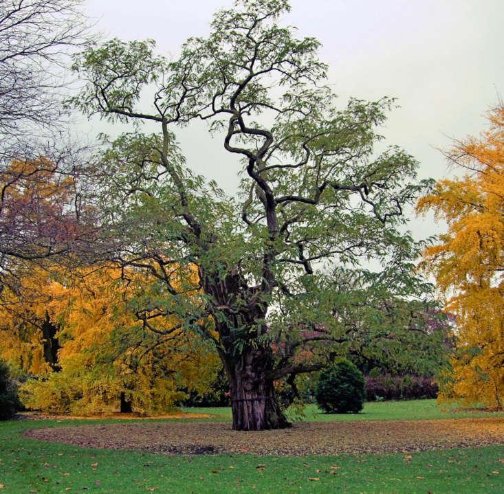 Kew&#8\2\17;s impressive black locust tree (Robinia pseudoacacia). Photograph by Jim Linwood via Flickr.
