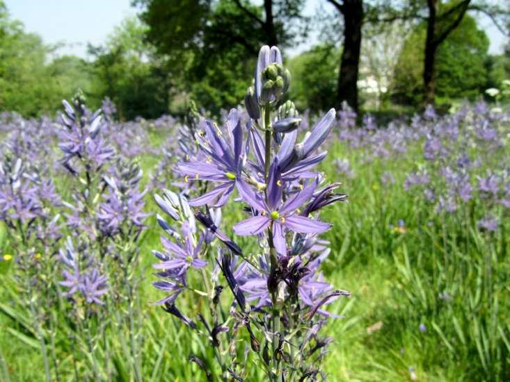 Drifts of camassias. Photograph by Lucy Wayland via Flickr.