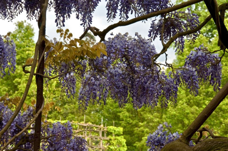 Wisteria vines in bloom at Kew. Photograph by Graeme Churchard via Flickr.