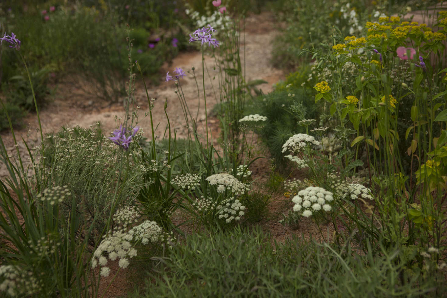 Insect-friendly umbels of sea carrot (Daucus gingidium) with rangy mauves and pinks and a shot of euphorbia yellow.