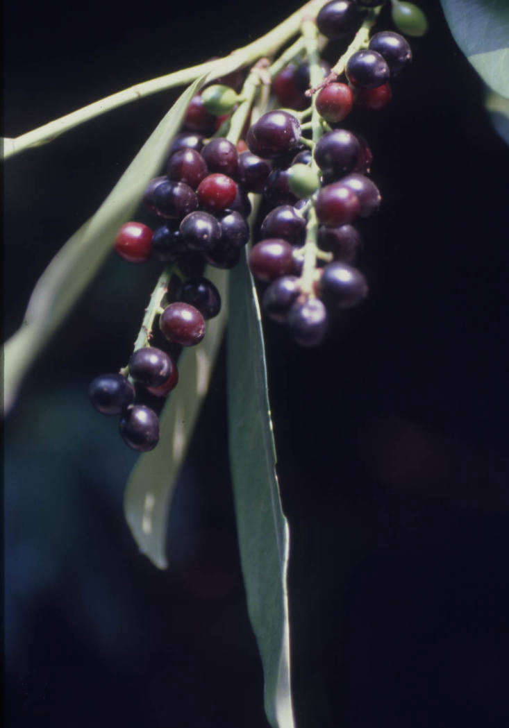 Cherry laurel fruit at Cardiff Reservoirs in the UK. Photograph by Dr. Mary Gillham Archive Project via Flickr.