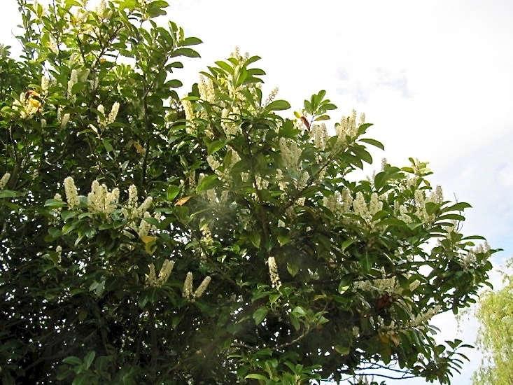 Prunus laurocerasus by Leonora Enking via Flickr.