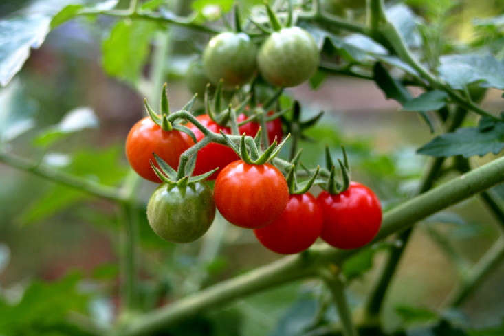 Cherry tomatoes grow in a garden in Charlottesville, Virginia. Photograph by Ancapron via Flickr.