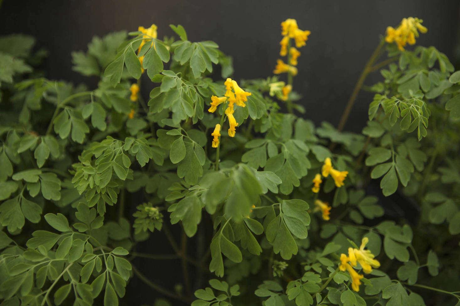 Corydalis lutea, meaning &#8
