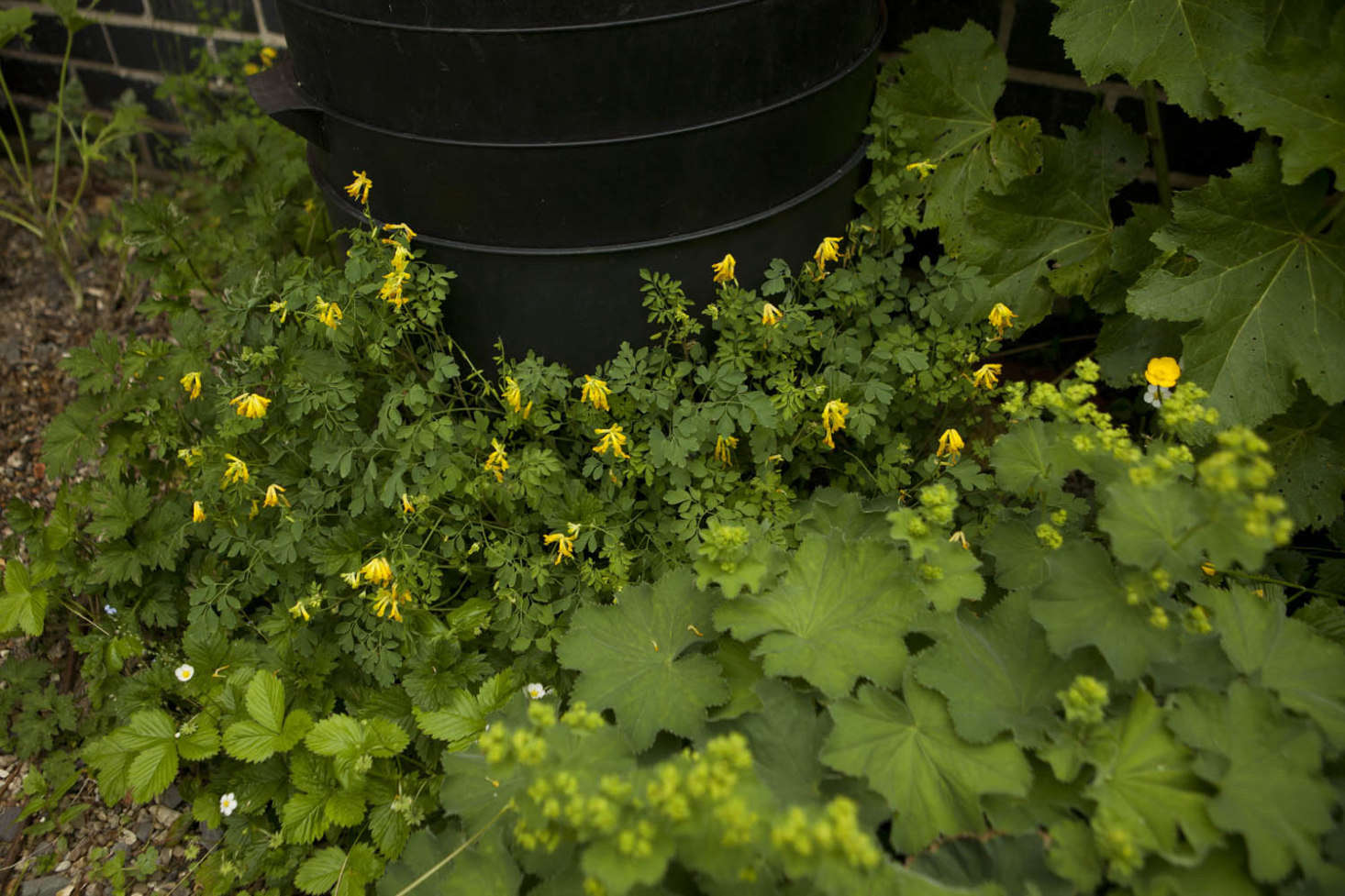 Gravel appreciation. Yellow fumitory makes itself at home underneath my wormery, with lady&#8