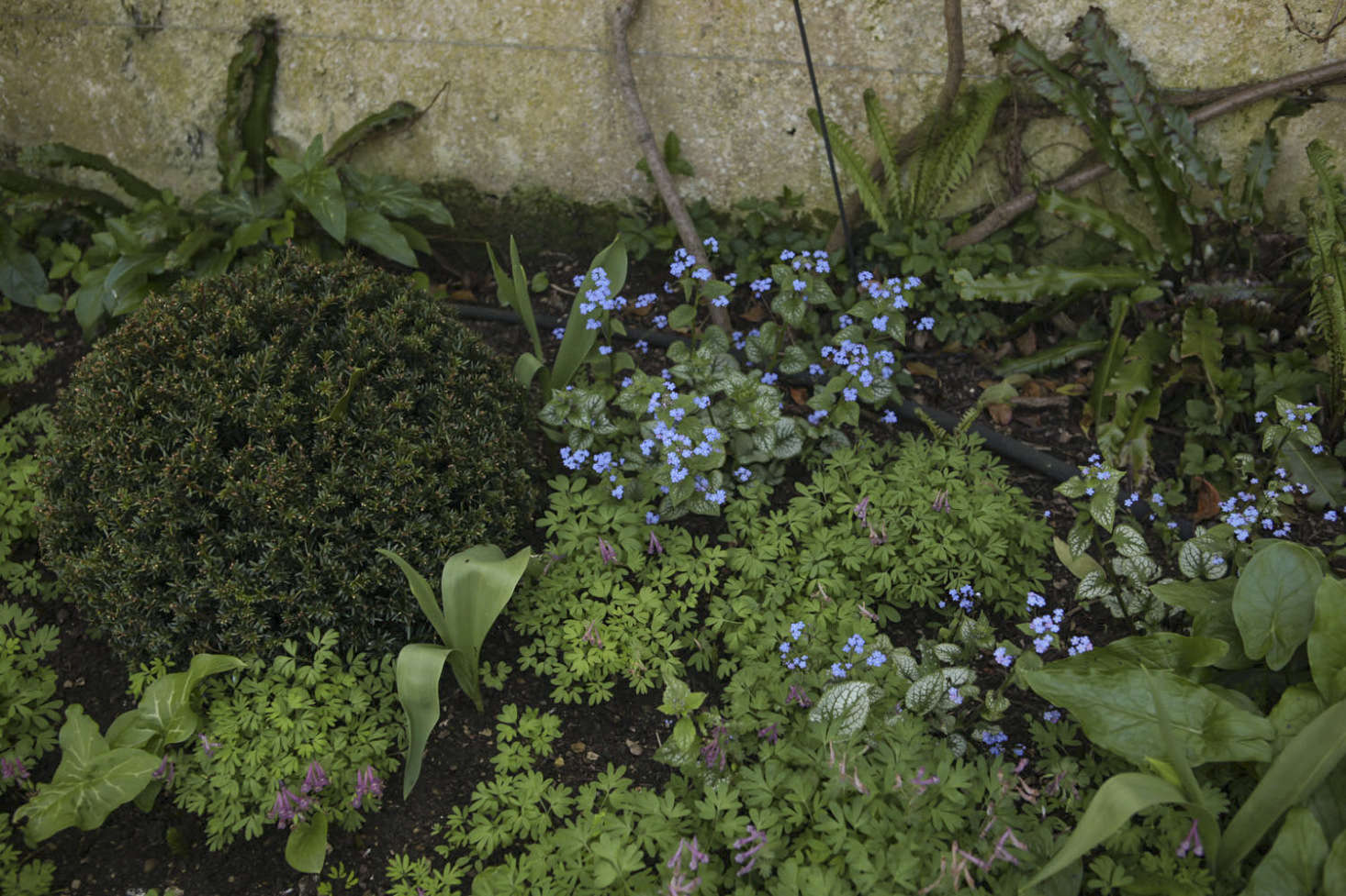 Mauve corydalis and blue brunnera make a spring ground cover.