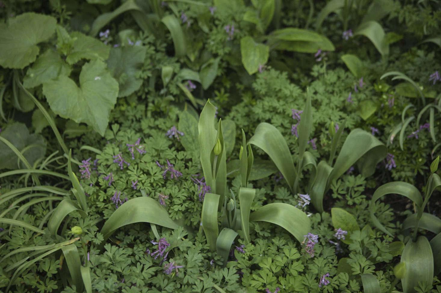 Corydalis solida (fumewort) at the Oxford Botanic Garden.