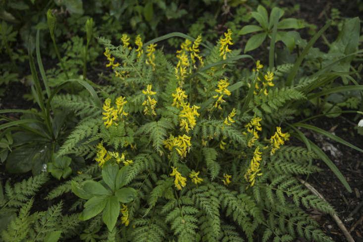 EvergreenCorydalis cheilanthifolia at the Oxford Botanic Garden.