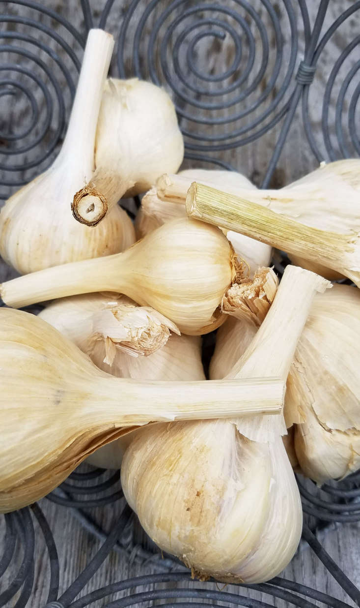 To cure for long-term storage, leave the garlic bulbs with foliage attached or braid them in bunches and hang them for about a month until the roots below the bulbs are very stiff and brittle and the leaves crisp. Now you can strip off the extra leaves and brush and trim the bulbs neatly.