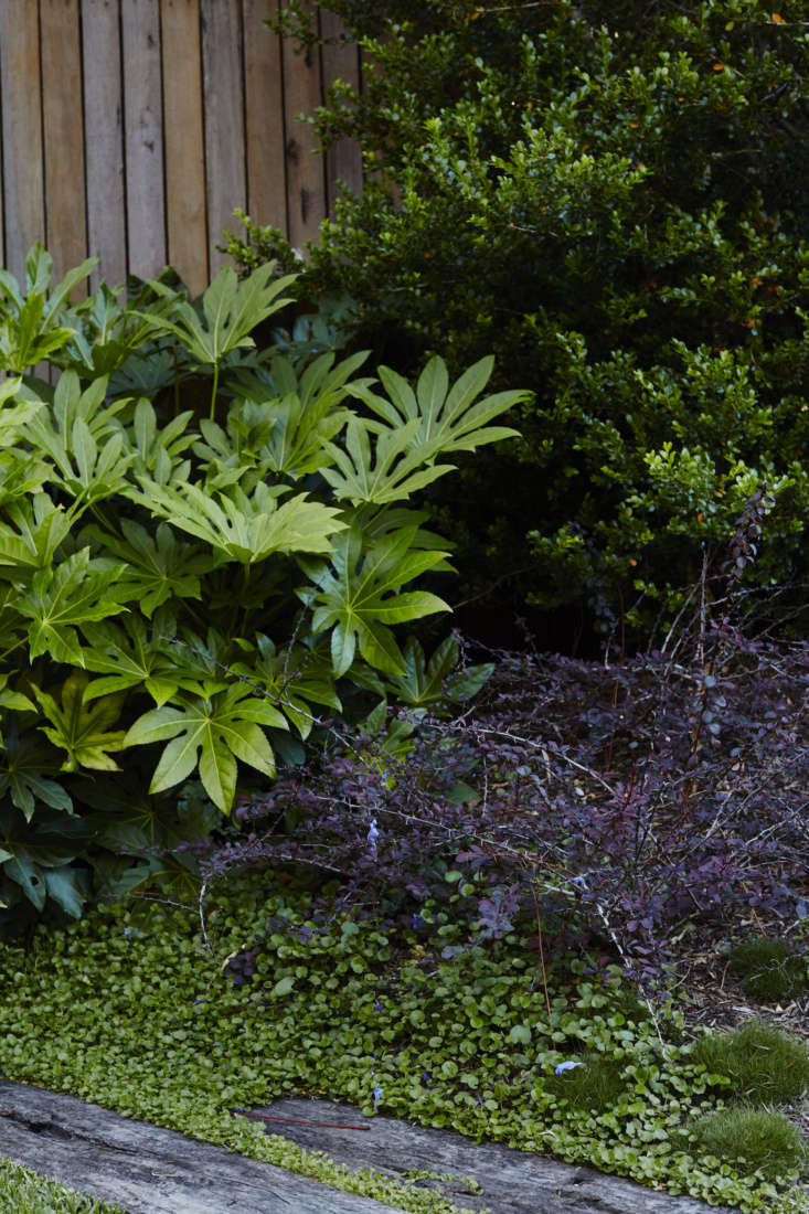 A large Fatsia paper plant, a Loropetalum purple shrub, andDichondra serving as ground cover grow over the railroad ties on the left edge of the garden.